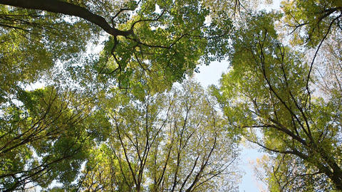Rotating Perspective of Deciduous Treetops from Below in Ukrainian Forest Live Action