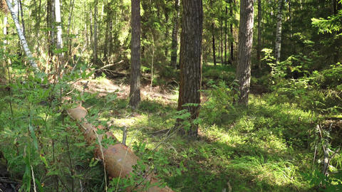 Deadfall Log in a Temperate Coniferous Forest. Video Footage