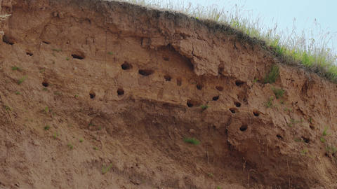 Swallows' Nests in an Ocena Bluff. Video 4k Footage