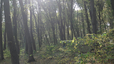 Deciduous. Temperate Forest in Ukraine with Birdsong Sounds Live Action