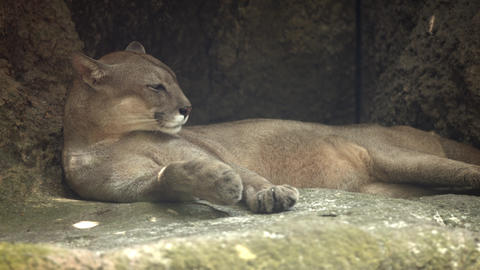 Lone Mountain Lion Rests in the Shade at the Zoo. UltraHd 4k video Footage
