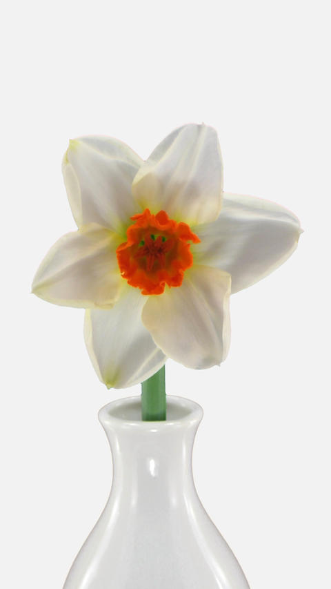Time-lapse of opening narcissus Barret Browning flower with ALPHA channel, Footage