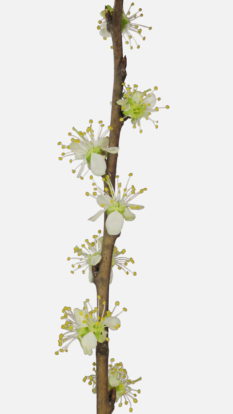 Time-lapse of blooming plum tree branch with ALPHA channel, vertical orientation Footage