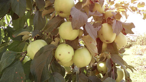 Unripe Organic Apples on a Tree in the Orchard Footage