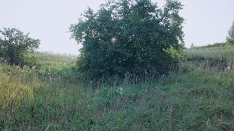 Rise from behind the tree with a panorama of the field of sunflowers. Russia, Footage