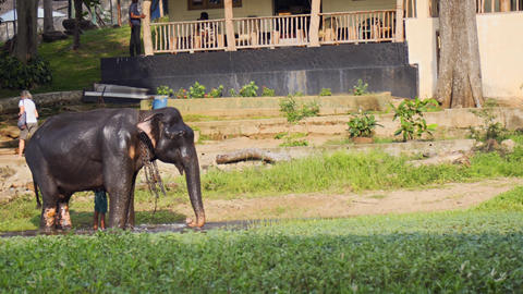 Handler Guides Captive Elephant out of Bathing Pool in Sri Lanka Footage