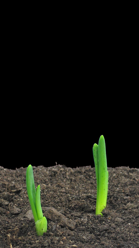 Time-lapse of growing onion sprouts with ALPHA channel, vertical orientation Footage
