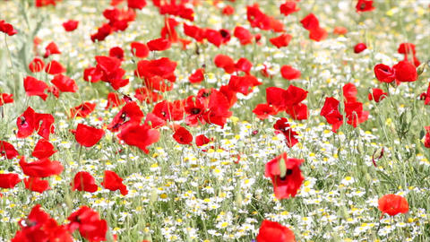 meadow with poppy and chamomile flowers Footage