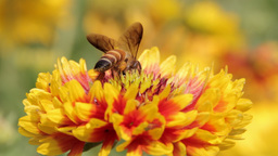 Bees collect nectar from the flowers Footage
