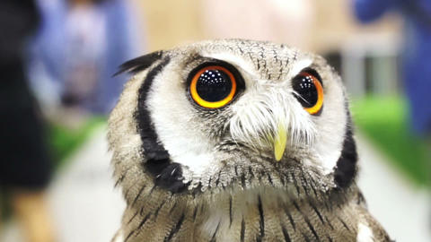 Close up shot of Small Northern white-faced owl. Beautiful yellow shiny eyes and Footage