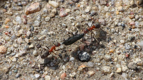 Game ants in tug of war Footage