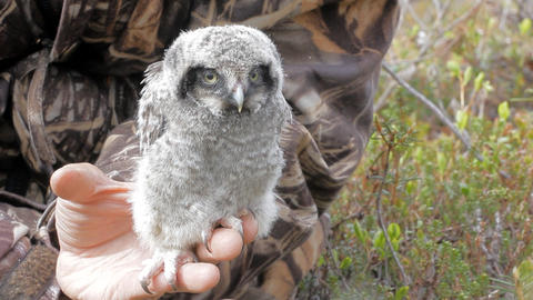 Little fluffy chick owl is located on human hand Footage