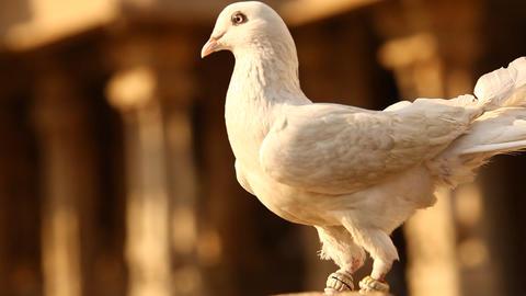 Pigeon at vintage Temple wall Footage