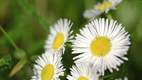 Closeup of Erigeron annuus flowers. waving in a gentle breeze Footage
