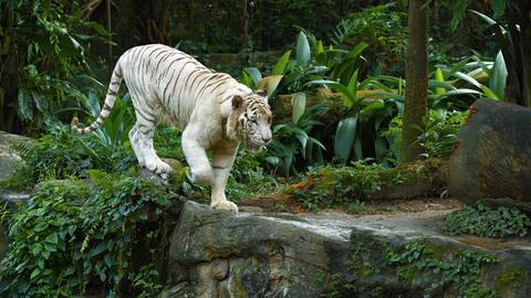 A rare white tiger Live Action