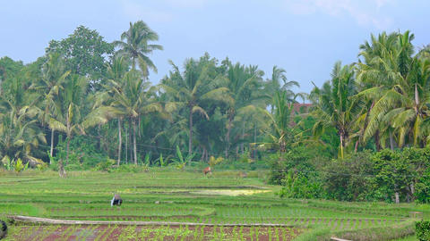 Peasant working in the rice fields. Bali. Indonesia Footage