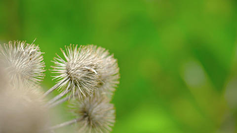 Dry burs hang from the stems of a burdock plant in closeup Footage