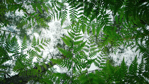 Ferns against the forest canopy Footage