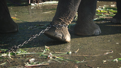 Chain at leg of an elephant in captivity Footage