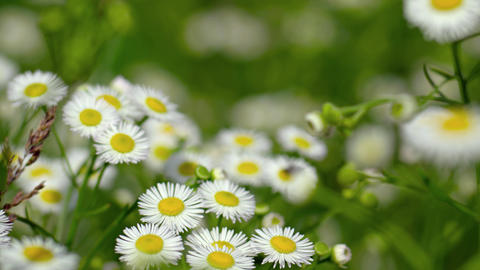 Daisy fleabane's clustered blossoms. common wildflower. waving in breeze Footage