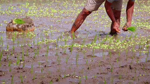 Indonesia. Bali. Rice field. Planting of seedlings in mud. Focus on foreground Footage