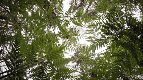 View to tree tops through the ferns. UltraHD vodeo with natural sounds Footage