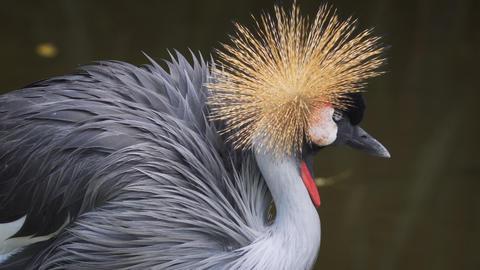 Black Crowned Crane. Preening. FullHD footage Footage
