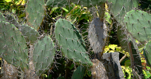 Specimen of Prickly Pear Cactus. an Invasive Species. Growing in Indonesia Footage