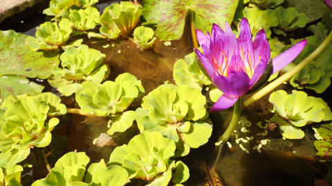 Beautiful Lotus flower. Purple Water Lily Plant. 4K Footage