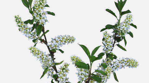 Time-lapse of blooming bird cherry branch with ALPHA channel Footage