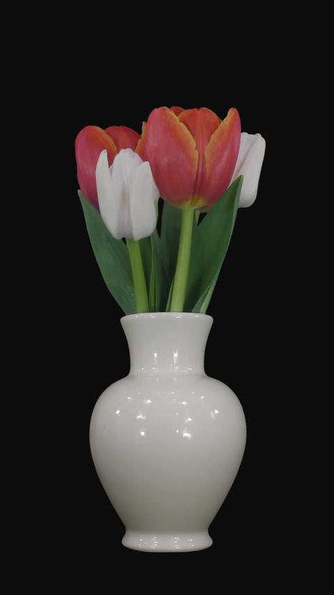 Time-lapse of opening mixed color tulips with ALPHA channel, vertical Footage
