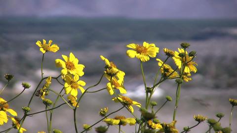 Anza borrego flower view Footage