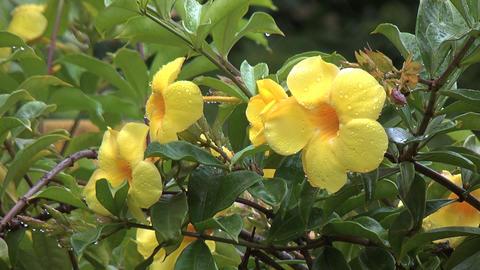 Beautiful yellow flower in the rain Footage