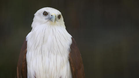 Brahminy Kite. Standing Curiously on his Perch Footage