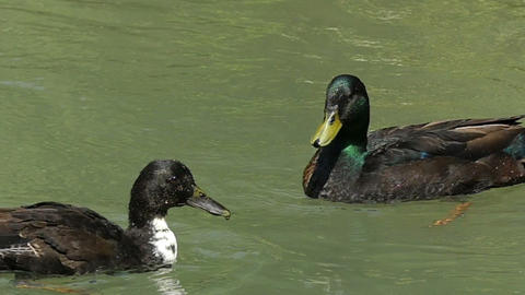 A drake swimms and a mallard waves wing. She wants to quit him in slo-mo Live Action