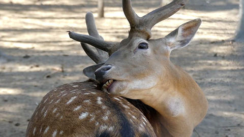 A brown male deer lies and licks its skin in summer in slo-mo Live Action