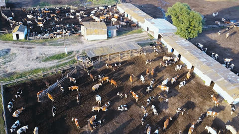 A cowshed barn with lots of cows. Aerial drone shot 4K 画像