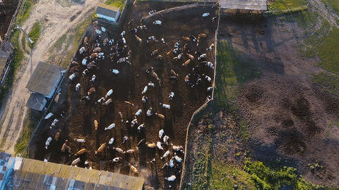 A cowshed barn with lots of cows. Aerial drone shot 4K GIF