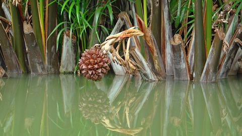 Wild Nipa Palms Growing Wild in Shallow Water. FullHD video Footage