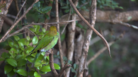 Green Bee Eater on a Branch in Sri Lanka. FullHD video Footage