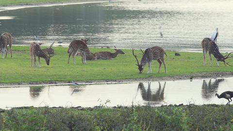 Herd of Axis Deer in Sri Lankan National Park. FullHD video Footage