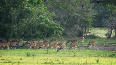 Herd of Ceylon Spotted Deer in Sri Lankan Wildlife Sanctuary Footage