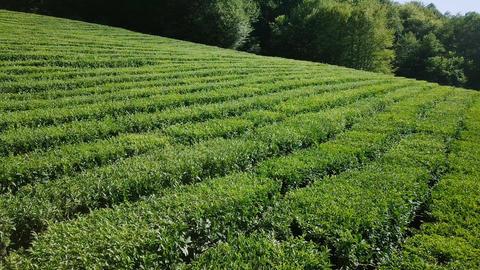 Flight over tea plantation. Krasnodar, Sochi, Russia, From Dron Footage