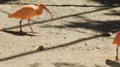 Scarlet Ibises in their Habitat Enclosure at a Public Zoo Live Action