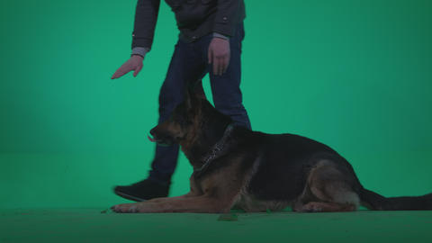 A dog shows its habits and behaviour 4K Green Scree Video Fottage Footage