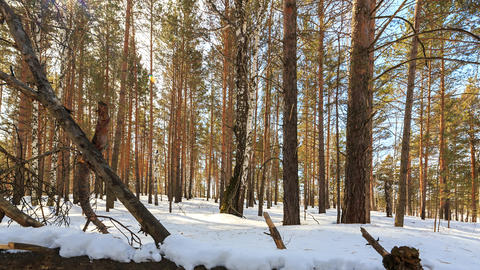 Sunny winter forest. Snag. Slider. TimeLapse Footage