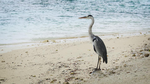 Grey Heron Standing on a Tropical Beach in the Maldives Footage