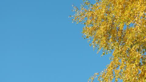 Autumn leaf fall on a sunny day Footage