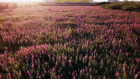 Field Fireweed (Chamaenerion, Wildflower) at sunset. Shooting from the air by a Footage