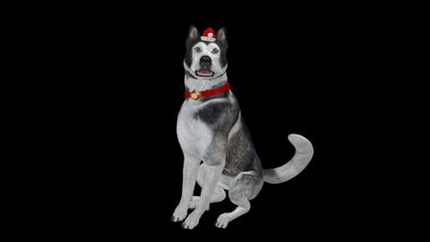 Winter Holiday Dog - Husky - Transparent Loop Animation